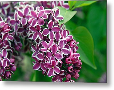 Sensation Lilac Metal Print by Richard Engelbrecht