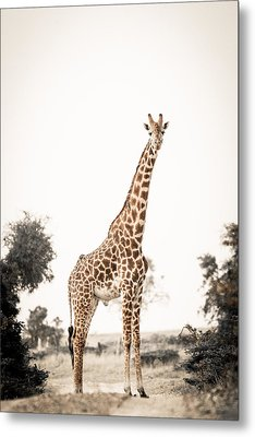 Metal Print featuring the photograph Sentinal Giraffe by Mike Gaudaur