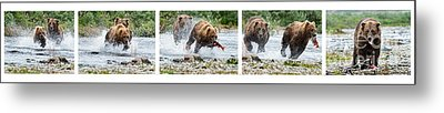 Sequence Of Large Brown Stealing Salmon From Smaller Brown Bear Metal Print by Dan Friend