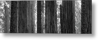 Sequoia Grove Sequoia National Park Metal Print