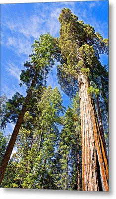 Sequoias Reaching To The Clouds In Mariposa Grove In Yosemite National Park-california Metal Print by Ruth Hager