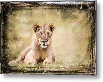 Metal Print featuring the photograph Serene Lioness by Mike Gaudaur