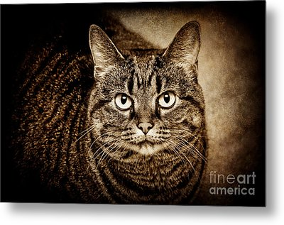 Serious Tabby Cat Metal Print by Andee Design