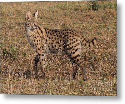 Serval Cat 3 Metal Print