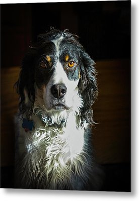 Setter In Contrast Metal Print by Andrew Lawlor