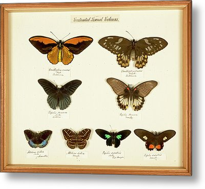 Sexual Dimorphism In Butterflies Metal Print by Natural History Museum, London