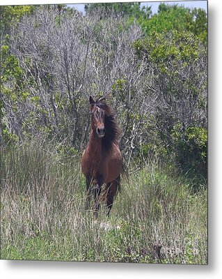 Shackleford Pony Metal Print
