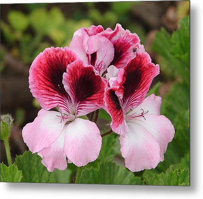 Shades Of Pink 2 Metal Print by Lew Davis