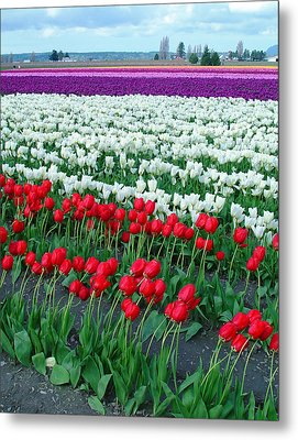 Shades Of Tulips Metal Print
