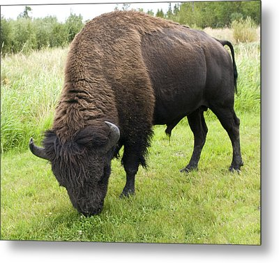 Metal Print featuring the photograph Shaggy by Rhonda McDougall