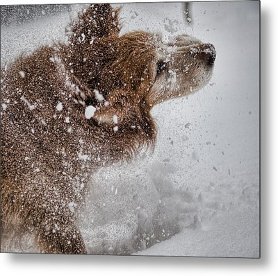 Shaking Off The Snow Metal Print by John Crothers