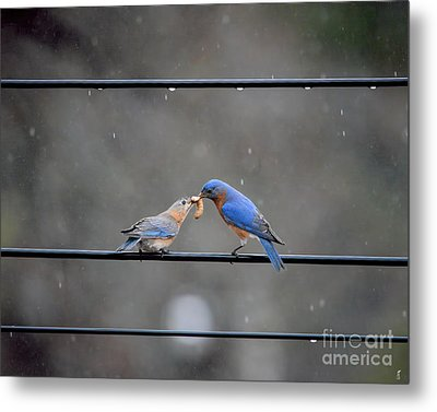 Sharing A Meal - Bluebirds Metal Print