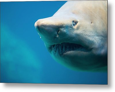 Shark Metal Print by Johan Swanepoel