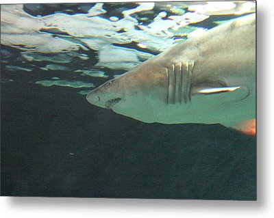 Shark - National Aquarium In Baltimore Md - 121218 Metal Print by DC Photographer