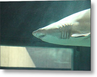 Shark - National Aquarium In Baltimore Md - 121220 Metal Print by DC Photographer