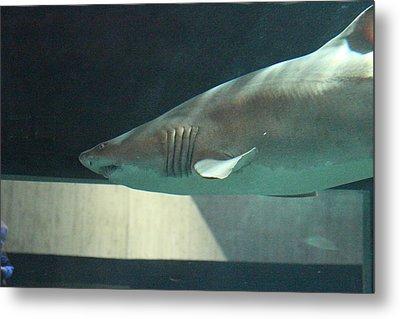 Shark - National Aquarium In Baltimore Md - 121221 Metal Print by DC Photographer