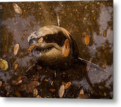 Metal Print featuring the photograph Shark by Randy Sylvia