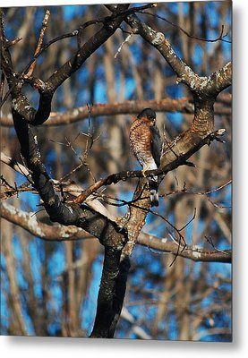 Metal Print featuring the photograph Sharp Shinned Hawk by Mim White