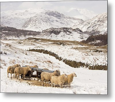 Sheep Brave The Extreme Weather Metal Print by Ashley Cooper