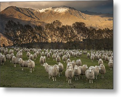Sheep Flock At Dawn Arrowtown Otago New Metal Print by Colin Monteath, Hedgehog House