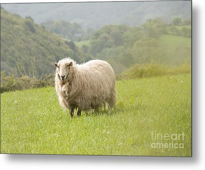 Sheep In Pasture Metal Print by Juli Scalzi
