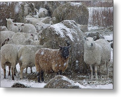 Sheep In Snow Metal Print by Christopher Mace
