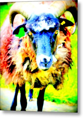 It's A Sheep Life Inside Of This Coat  Metal Print by Hilde Widerberg