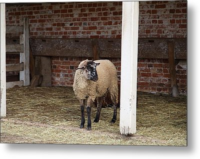 Sheep - Mt Vernon - 01132 Metal Print by DC Photographer