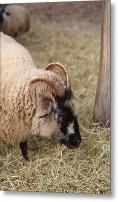 Sheep - Mt Vernon - 01134 Metal Print by DC Photographer