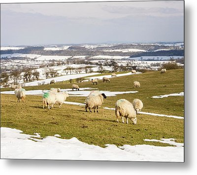 Sheep On Hope Bowdler Hill Metal Print by Ashley Cooper