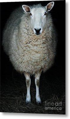 Sheep Metal Print by Stephanie Frey