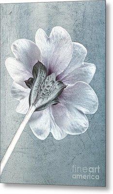 Sheradised Primula Metal Print by John Edwards