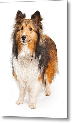 Shetland Sheepdog Dog Isolated On White Metal Print by Susan Schmitz