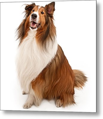 Shetland Sheepdog Isolated On White Metal Print by Susan Schmitz