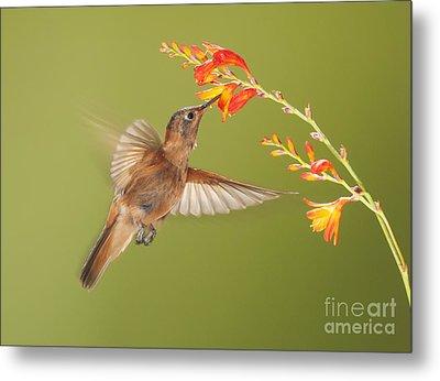 Shining Sunbeam Hummingbird Metal Print