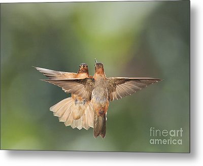 Shining Sunbeam Hummingbirds Metal Print