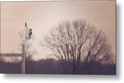Short Eared Owl At Dusk Metal Print by Carrie Ann Grippo-Pike