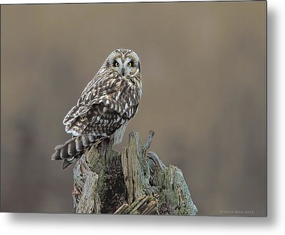 Metal Print featuring the photograph Short Eared Owl by Daniel Behm