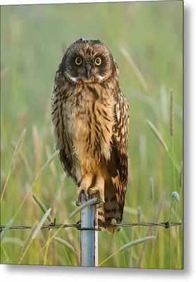 Short-eared Owl Metal Print by Doug Herr