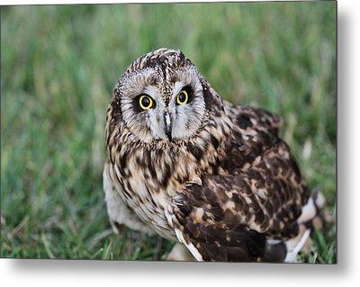 Short Eared Owl Hunting Metal Print