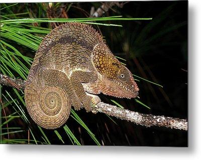 Short-horned Chameleon Metal Print