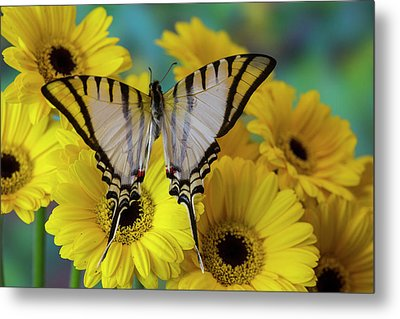 Short-lined Kite Swallowtail Butterfly Metal Print