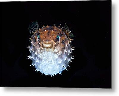 Short-spined Porcupinefish Metal Print