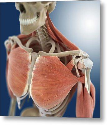 Shoulder And Chest Anatomy Metal Print by Springer Medizin