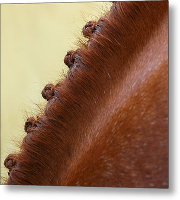Show Horse Braids Metal Print by Phil Cardamone