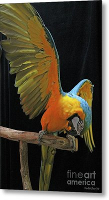 Metal Print featuring the photograph Show Off by Dodie Ulery