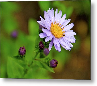 Showy Aster Metal Print by Ed  Riche