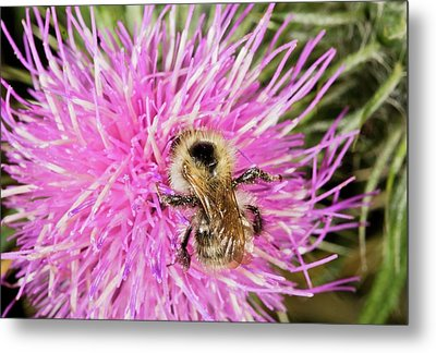 Shrill Carder Bee On Knapweed Flower Metal Print by Bob Gibbons
