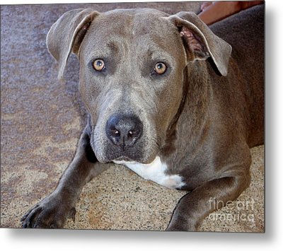 Shy Pit Bull Puppy Metal Print by Mary Deal