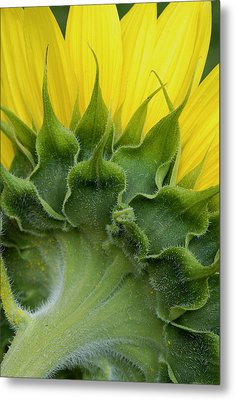Shy Sunflower Metal Print